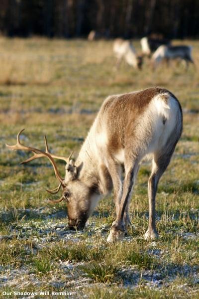 Reindeer Hunting